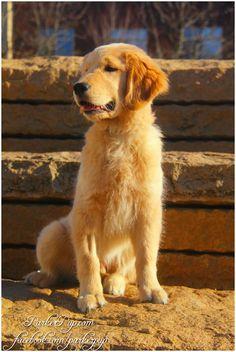 Cute Golden Retriever puppy, Reser LOVE THE NAME!!!!