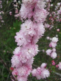 flowering almond (Prunus glandulosa) in our yard March 2015 // Small, ruffled, pink double blooms decorate every twig heavily early each spring. One of the first shrubs to bloom. The foliage remains beautiful all season long. Excellent as a border or foundation plant. Grows 3-4 ft tall and wide in full sun to part shade. Low water requirements once established. Very hardy, easy to grow. Hardy zones 4-7. [Ours is doing fine in zone 8b]