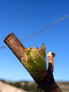 Spring 2015 has begun.  The leaves are starting to grow on the branches in the vineyards.