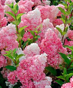 We just got a new hydrangea for one of our porch beds and I'm really excited about it. It is Hydrangea paniculata 'Vanilla Strawberry' a. Hortensia Hydrangea, Hydrangea Flower, Hydrangea Garden, Pink Flowers, Hydrangea Varieties, Hydrangea Shrub, Fall Flowers, Cut Flowers, Perennials