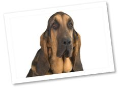 Known for their long droopy ears and nose-to-the-ground sniffing abilities is the ancient breed, Bloodhound. They are great hunting and tracking dogs and make good family pets.