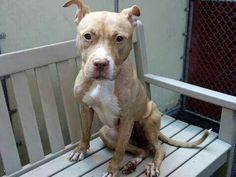 TO BE DESTROYED - 10/06/14 Manhattan Center  My name is CHEROKIE. My Animal ID # is A1015353. I am a female brown pit bull mix. The shelter thinks I am about 2 YEARS old.  **$150 DONATION to the NEW HOPE RESCUE that pulls!!**  I came in the shelter as a SEIZED on 09/26/2014 from NY 10027, owner surrender reason stated was OWNER HOSP.https://m.facebook.com/photo.php?fbid=877093512303529&id=152876678058553&set=a.611290788883804.1073741851.152876678058553&source=43