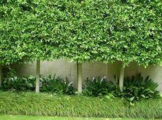 Ficus-Hillii 2-final-image