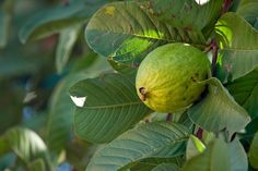 Guava (Hawaiian name: Kuawa. Scientific name: Psidium guajava) Guava is used as a juice in a concoction to help heal deep cuts, as a tea to cure headaches, as crushed leaves to revive a fainted person, and as chewed leaves to counteract diarrhea.
