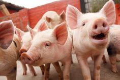 Los Cerditos de la Granja del Tío Mario Barnyard Animals, Mario, Piglets
