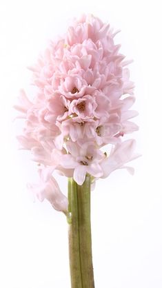 Hyacinthus China Pink