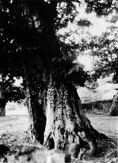Castiñeiro con cruces de madeira, con función de cruceiro, en Rao, Navia de Suarna. Arquivo Ebeling nº 239.
