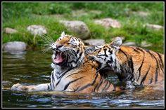 Tiger Neck massage by AF--Photography on deviantART