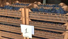 The start of the journey to Amarone!  Harvest 2015 Today the first grapes entered the drying racks of Terre di Fumane in Valpolicella in perfect condition. We look forward to raising our glasses to salute the King of Red #wine.