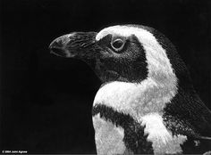 Jackass_Penguin.jpg 802×593 pixels