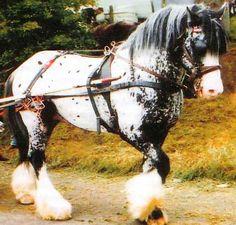 a british drum horse