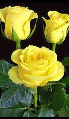 Yellow flowers commonly evoke feelings of happiness and cheer which is exactly what they symbolize Beautiful Rose Flowers, Flowers For You, Pretty Roses, Amazing Flowers, Beautiful Flowers, Exotic Flowers, Roses Only, Rose Pictures, Flower Images
