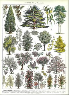 Vintage print published in Paris Ornamental Trees.Numbered and described on the bottom margin. Very decorative print. Dimensions inches or Other similar prints in our shop: Vintage Botanical Prints, Vintage Art Prints, Botanical Drawings, Botanical Art, Planet Decor, Illustration Botanique Vintage, Vintage Botanical Illustration, Impressions Botaniques, Flora