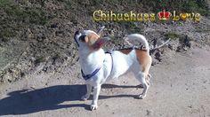 Chihuahuas Love - Chihuahuas para Alegrar Nuestra Existencia. Tener un Perro…