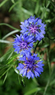 Wild flowers in Russia. Cornflowers.