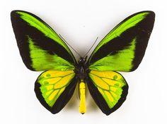 Ornithoptera goliath, Goliath birdwing butterfly, male, dried specimen, bred Mansuela Range, Irian Jaya, Indonesia, October 1988