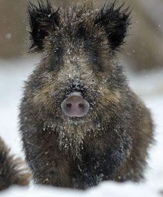 Wild sow, photo by Igor Shpilenok Nature Animals, Baby Animals, Funny Animals, Cute Animals, Beautiful Creatures, Animals Beautiful, Cute Piggies, Types Of Animals, Wild Boar