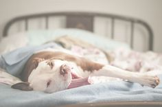 Big Dog Bed Hog by Sarah Simpson Photography on @creativemarket