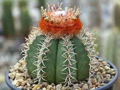 Melocactus matanzanus – Dwarf Turk's Cap Cactus - See more at: http://worldofsucculents.com/melocactus-matanzanus-dwarf-turks-cap-cactus