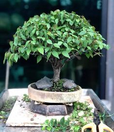 Beautiful Zelkova Bonsai (Japanese elm) by happybonsaiclub. #bonsai #盆栽 #盆景 #bonsaitree #nature #trees