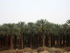 Date palm tree orchard along Highway 90, north of Ein Gedi, Israel