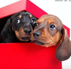 Get back in the box before they see us... It's supposed to be a surprise! doxies