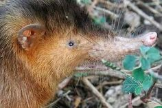 Solenodon - cat size shrew, venomous, very mysterious and thought to be extinct until recently found in Cuba Unique Animals, Extinct, Rodents, Big Cats, Mysterious, Cuba, Fossil, Flora, Wildlife