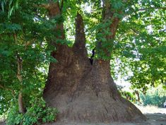 Tnjri - giant plane-tree, Azerbaijan - Most likely the largest plane-tree in the world grows in Karabakh. This tree, reportedly, is more than 2,030 years old and its trunk has a circumference of 27 m. Tree is sacred to local people and traditions prohibit to do any harm to the tree.