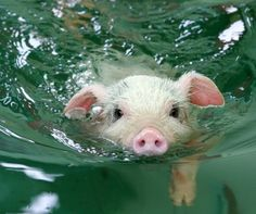 I really like cute flying pigs because they symbolize the power of imagining and then doing the impossible - but this swimming pig made me smile!