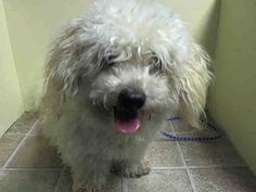 Brooklyn Center   MESSI - A1007561   MALE, TAN, BICHON FRISE MIX, 4 yrs  STRAY - STRAY WAIT, NO HOLD Reason STRAY   Intake condition NONE Intake Date 07/21/2014, From NY 11369, DueOut Date 07/24/2014 https://www.facebook.com/Urgentdeathrowdogs/photos_stream?tab=photos_stream