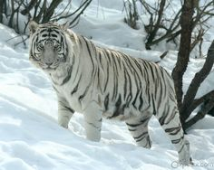 I love siberian white tigers as well!! awesome animal!