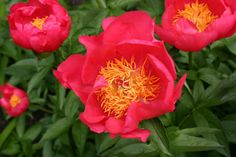 Paeonia 'Flame', Peony 'Flame', 'Flame' Peony, Red Peonies, Red Flowers, Fragrant Peonies