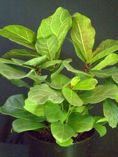 Unusual Houseplants Zz Plants Have Long Stems Covered In
