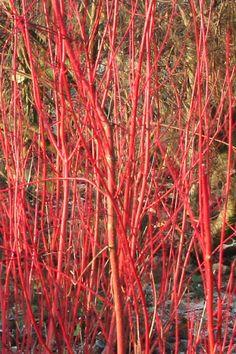 n de winter valt Cornus alba 'Sibirica' op door de vele rechtopgaande rode vertakking. Dit is tevens de belangrijkste sierwaarde van deze witte kornoelje. Cornus alba 'Sibirica' bloeit in de periode mei-juni. 250-300 cm