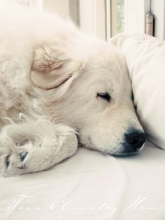 Great Pyrenees are such amazing dogs! Big Dogs, I Love Dogs, Dogs And Puppies, Doggies, Animals Beautiful, Cute Animals, Terra Nova, Great Pyrenees Dog, Mundo Animal