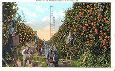 Postcard with a scene in an orange grove. Postmarked January 18, 1922. | Florida Memory