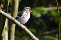 Common Redpoll by TOTORORO.RORO, via Flickr