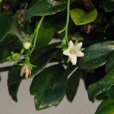 Tea Tree Oil and Melaleuca Oil, Some Uses
