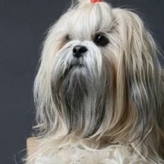 Best breed ever, lhasa apso