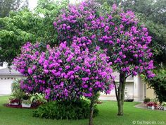 Just like my Grandma's. Tibouchinia Tree - Tibouchina grandiflora Fast growing tree that is best kept at 6-8 ft. in height. Large silvery/green fuzzy leaves that form an airy canopy. This variety has very large purple blooms that occur frequently year-round once the plant is established. Very Showy for small areas. Keep moist but WELL-Drained. Full-Sun