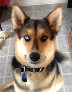 Husky German Shepherd mix - best dog ever!