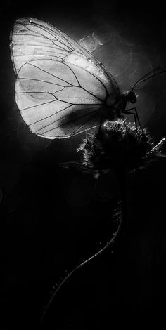 butterfly#black and white#photography