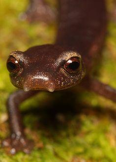 Bolitoglossa porrasorum  Pijol salamander, Honduras
