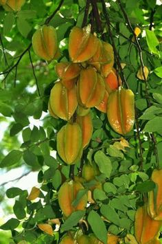 Starfruit (crambola) tree, delicious fruits preceded by flower clusters that look like little pink hibiscus blossoms. Fruit Plants, Fruit Garden, Edible Garden, Fruit Trees, Trees To Plant, Tropical Fruits, Tropical Plants, Fruit And Veg, Fresh Fruit