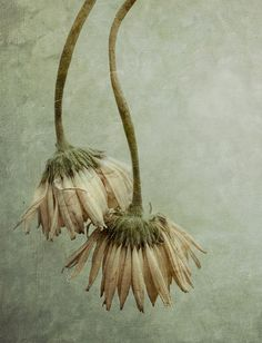 wilted flowers processed with flypaper textures Beautiful Images, Beautiful Flowers, Wilted Flowers, Seed Pods, Art Graphique, Botanical Art, Natural World, Amazing Gardens, Still Life