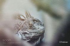 Iguana by v_znakomov. @go4fotos