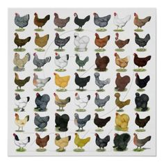 Chicken Breed Poster | Chickens