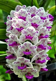Beautiful Orchid tower: purple white blooms on stalks. RESEARCH #DdO:) MOST #POPULAR RE-PINS - http://www.pinterest.com... - FLOWERS BEYOND EXPECTED. Genus ORCHID is OLD, widespread, prolific, DIVERSE colors, sizes, patterns. Grows naturally all over world- a favorite plant of horticulturists. 25,000 DOCUMENTED species. AND scientists are finding more every day. Evidence of Creator Designer God: Far more variety than Chance from a few cells wd make. - Gardening For You