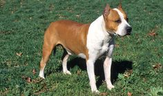 American Staffordshire Terrier Dog Names for male or female AmStaff puppies, dog names for your Amstaff Breed dogs, names for American Staffordshire Terrier breed puppies, Page 1 Staffordshire Terriers, American Staffordshire, Terrier Dog Breeds, Bull Terrier Dog, American Dog, American Mary, Dog Fighting, Dog Names, Beautiful Dogs
