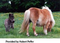 Welsh Pony vs Miniature Horse vs Shetland Pony - Horses Comparison ...
